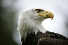 Bald Eagle. Head looking to the right Royalty Free Stock Images