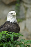 Bald Eagle. The American Bald Eagle.  The national bird of the USA Royalty Free Stock Images