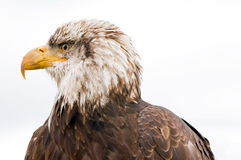 Bald eagle. A close up profile of the head and face of a large bald eagle Royalty Free Stock Photography