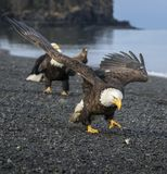 Bald  Eagle adult approaching fish chunk on the beach royalty free stock photography