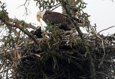 Bald eagle nest in Alaska. Bald eagle adult and chick in nest near Homer, Alaska royalty free stock photography