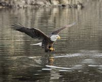 Bald Eagle adult has grabbed a chunk of herring. Bald Eagle adult has just grabbed a chunk of herring  and is taking off with it royalty free stock photography