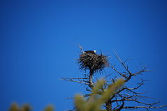 Bald Eagle in Aerie Nest Stock Images