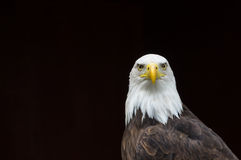 Bald Eagle against a black background. Suitable for caption or title Stock Photo