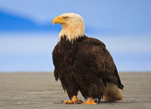 Bald eagle, Alaska Stock Photography