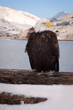 Bald Eagle in Alaska Stock Photography