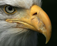 Bald Eagle, Alaska, USA Stock Photo