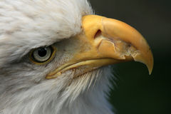 Bald Eagle, Alaska, USA Royalty Free Stock Images