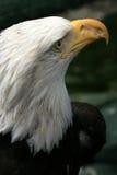 Bald Eagle, Alaska, USA Royalty Free Stock Photography