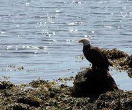 Bald Eagle along shoreline, Alert Bay, BC. A bald Eagle perched along the shoreline at Alert Bay on Cormorant Island in British Columbia. One of the  many Royalty Free Stock Photography