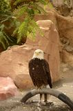 Bald Eagle in the birds Zoo. The bald eagle, also known as American eagle, white-headed eagle. It is the national symbol of the United States of America: it even royalty free stock photo