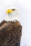 Bald eagle or American eagle Royalty Free Stock Photo