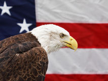 Bald Eagle and American Flag. Foreground image of bald eagle with slightly defocused American flag in the background royalty free stock photos
