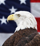 Bald Eagle and American Flag. Foreground image of bald eagle with slightly defocused American flag in the background Royalty Free Stock Images