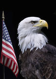 Bald eagle. With American flag Stock Image
