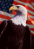 Bald Eagle With American Flag. Bald Eagle with United States of America Flag as Back drop Royalty Free Stock Image