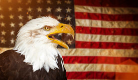 Bald Eagle with American flag Stock Photos