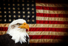 Bald Eagle with American flag. North American Bald Eagle with American flag Royalty Free Stock Photos