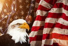 Bald Eagle with American flag. North American Bald Eagle with American flag. Patriotic concept Stock Photography