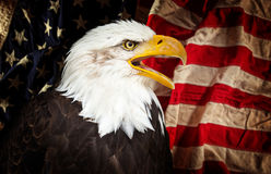 Bald Eagle with American flag. Stock Photography