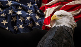 Bald Eagle with American flag. Royalty Free Stock Photography