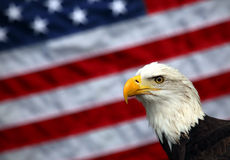 Bald Eagle and American Flag. A bald eagle poses in front of an American flag Stock Photography