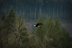 Bald Eagle. An American bald eagle glides down the Nooksack River searching for spawned out chum salmon carcasses. A large number of eagles congregate here royalty free stock images