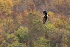 Bald Eagle Autumn Flight Stock Images