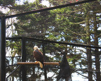 Bald Eagle Back Turned stock images