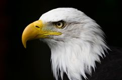 Bald Eagle. At Banham Zoo, Norfolk, UK royalty free stock images