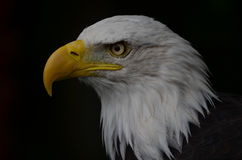 Bald Eagle. At Banham Zoo, Norfolk, UK Stock Photos