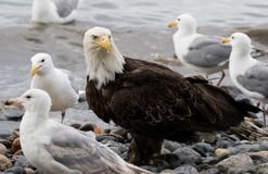 Bald eagle on the beach Stock Images