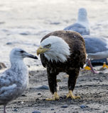 Bald Eagle on the beach looking for fish Stock Photo