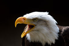 Bald Eagle with Beak Open. Bald Eagle looking to the left of frame with beak open during a call.  On a black background. Copy space above Royalty Free Stock Photo