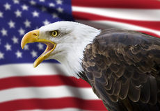 Bald eagle. A beautiful bald eagle with a background of a usa flag Royalty Free Stock Images
