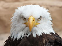 Bald Eagle1 Royalty Free Stock Photography