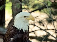 Bald Eagle. A beautiful bald eagle rests in a tree Stock Photography