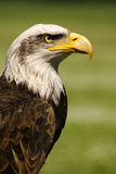 Bald eagle bird. Beautiful bald eagle side portrait, bird of prey Stock Images