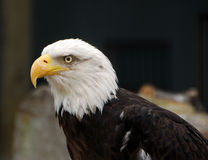Bald eagle bird Stock Photography