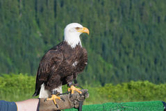 Bald Eagle. Bird of prey. Royalty Free Stock Photo
