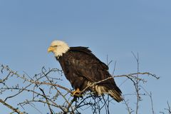 A bald eagle stock images