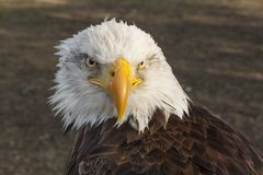 Bald eagle, bird of prey. Haliaeetus leucocephalus royalty free stock photo