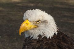 Bald eagle, bird of prey. Haliaeetus leucocephalus stock photo