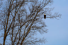 Bald Eagle with Black Birds. Bald Eagle Haliaeetus leucocephalus perched in a tree surrounded by black birds Royalty Free Stock Images