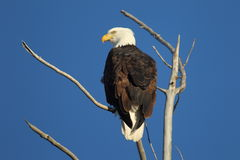 Bald eagle with blue sky. Bald eagle with a blue sky background Royalty Free Stock Image
