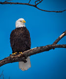 Bald eagle and blue sky Stock Image