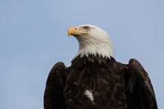 Bald Eagle with blue sky Stock Image