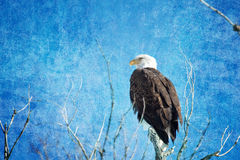 Bald Eagle Blues Stock Images