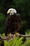 Bald Eagle On Branch Royalty Free Stock Photography