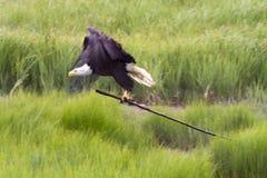 Bald eagle building nest Stock Photos